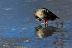 Mallard kaczki karmazynka Zdjęcia Royalty Free
