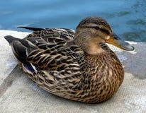 Mallard kaczki kobiety odpoczywać Obrazy Stock