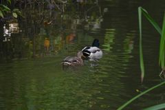 Mallard kaczki para Obraz Royalty Free