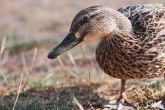 Mallard kaczki pozycja na suchych gras obraz royalty free