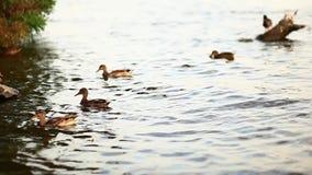 Mallard kaczki pozycja rzeką zbiory