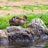 mallard kaczki young Obrazy Stock