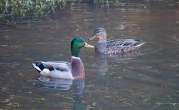 Mallard kaczki Zielony Trawa jezioro Wpólnie fotografia stock