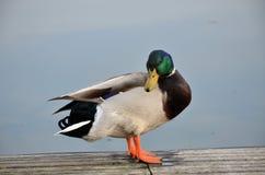 Mallard in lago Fotografia Stock Libera da Diritti