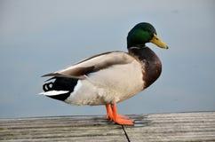 Mallard in lago Immagini Stock