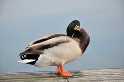 Mallard in lago Fotografia Stock