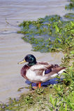 Mallard at Lake Stock Photography