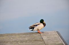 Mallard in lake Stock Images