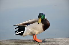 Mallard in lake Royalty Free Stock Photo