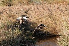 Mallard in a lake. Detail of mallard in a lake in tuscany Stock Photography