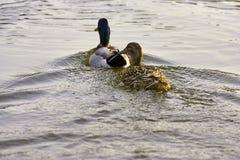 Mallard in a lake Stock Photos