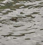 Mallard in a lake. Detail of mallard in a lake in tuscany Royalty Free Stock Image