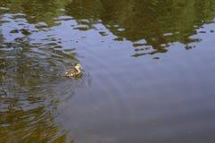 Mallard on lake. Mallard - young duckling on lake Stock Image