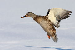 Mallard landing Stock Image