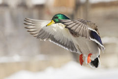 Mallard landing Stock Photos