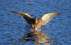 Mallard Landing. A female mallard duck landing on a blue lake Royalty Free Stock Images