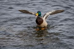 Mallard. Landing on a pond with his wings open Royalty Free Stock Photography