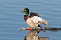 Mallard Landing on Water. Mallard Drake making a smooth landing on clear blue water Royalty Free Stock Photos