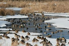 Mallard Late Winter Pond Flock. Bright winter capture of a large flock of mallard ducks, gathered close together on a partly thawed freshwater pond Royalty Free Stock Photos