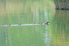 Little grebe and birdlings. The mallard leads its birdlings to swim in river. Scientific name: Trachybaptus ruficollis Stock Images