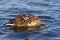 Mallard like a buoy. Shot of the hunting wild duck on the water - head underwater - mallard like a buoy Stock Photo