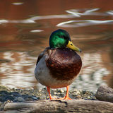 Mallard looking to the right and posing. While standing on a tree by the river Royalty Free Stock Image