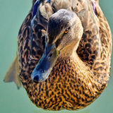 Mallard Making Eye Contact Stock Images