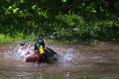Mallard making a splash. Picture of a Mallard Duck splashing around in the water Stock Photos