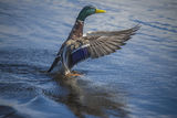 Mallard male, anas platyrhynchos, swimming around in the tista r Stock Photos