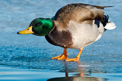 Mallard. Male Mallard bending over the edge of the ice it is standing on Stock Image