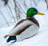 Mallard Male Duck Enjoying Spring Time. With Some Frost on its Beak in Blainville, Quebec, Canada Royalty Free Stock Image