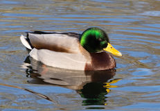 Mallard. Male mallard duck enjoying the sun stock image