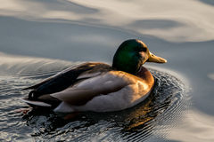 Mallard. Male mallard duck facing into the sunset Royalty Free Stock Images