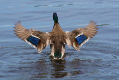 Mallard Male Duck Flapping Wings Back Side. Back duck flappy wings on a lake Royalty Free Stock Photography