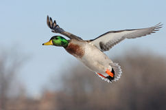 Mallard male duck in flight Stock Images