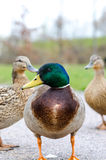 Mallard male duck. Near water Stock Photography