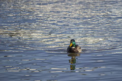 Mallard male duck is swimming Royalty Free Stock Photo