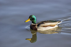 Mallard male duck is swimming 2 Stock Photos