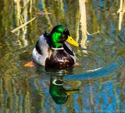 Mallard. Male mallard duck  waterfowl wildlife Royalty Free Stock Photography