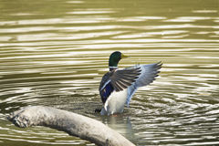 Mallard male fall Stock Image
