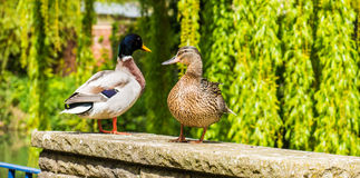 Mallard male and female duck Royalty Free Stock Photography