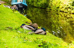 Mallard male and female duck Stock Photography