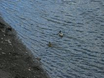 Mallards on the water. Mallard male and female swims on the water near the bank Stock Image