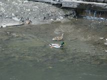 Mallards on the water. Mallard male and female swims on the water near the bank Stock Photography