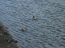 Mallards on the water. Mallard male and female swims on the water near the bank Stock Photo
