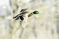 Mallard male in flight / Anas platyrhynchos Stock Images