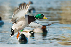 Mallard. Male Mallard in flight coming in for a landing Stock Photography
