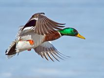 Mallard. Male Mallard in flight wings spred Stock Images