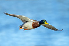 Mallard. Male Mallard in flight wings spred Stock Image