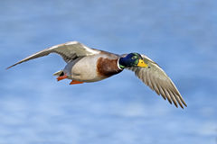 Mallard Royalty Free Stock Images
